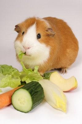 Food Guinea Pigs Like To Eat