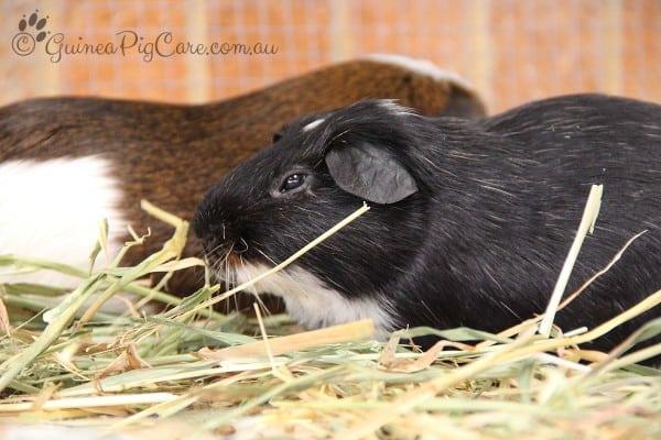 Black and white guinea pig eyes sleepy