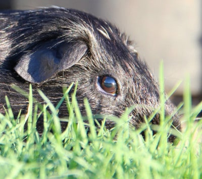 Barry the Guinea Pig eating Grass