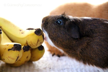 Biscuit the Guinea Pig Eating Banana