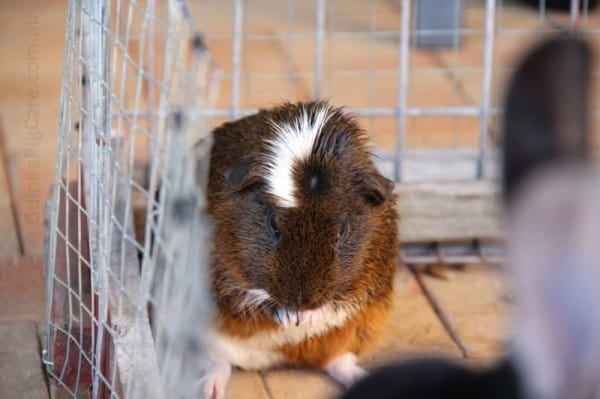 Biscuit the Guinea Pig Cleaning