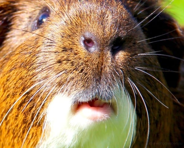 How much closer can this guinea pig picture get?