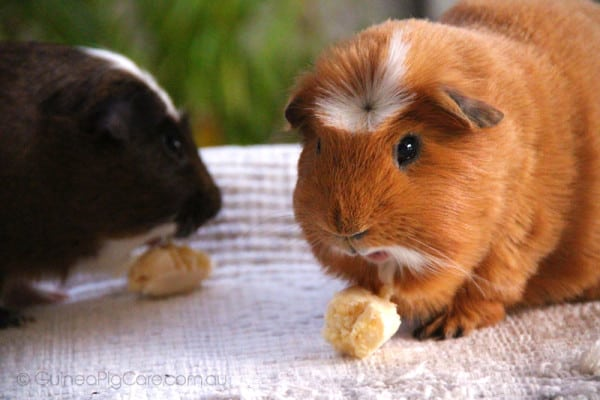 Guinea Pigs Eating Banana
