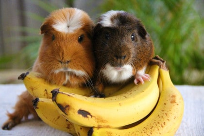 Guinea Pigs sitting on Banana