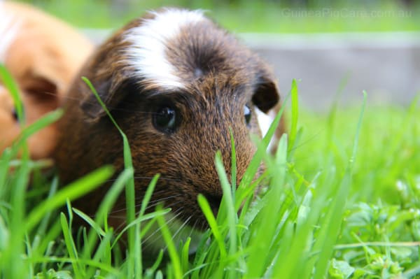 Biscuit the Guinea Pig Eating Grass
