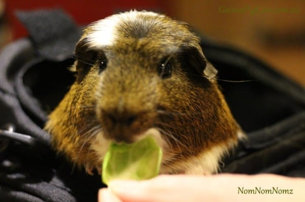 Guinea Pig Eating Brussel Sprout Leaf