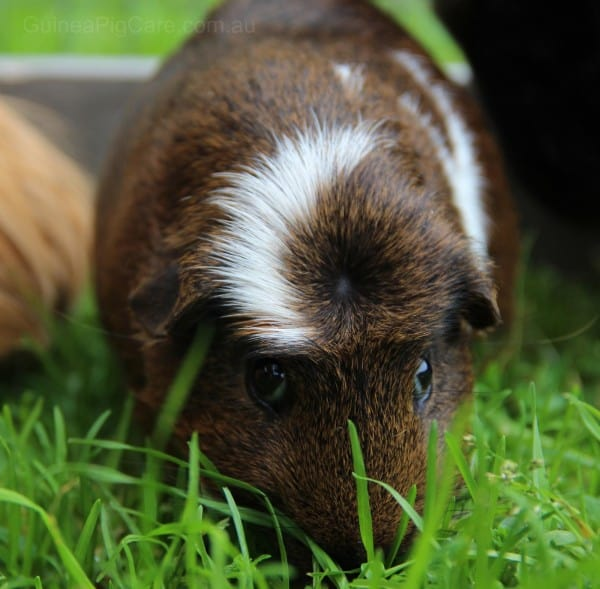 Guinea Pig Eating Grass Outside