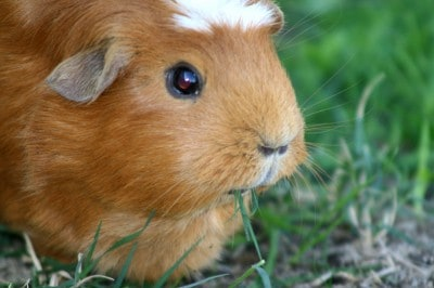 A Healthy Cavy is a Happy Cavy!
