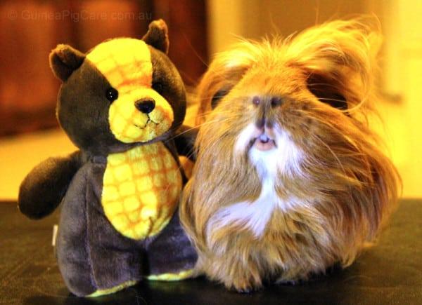 Fluffball the Guinea Pig and Plush Teddy Bear