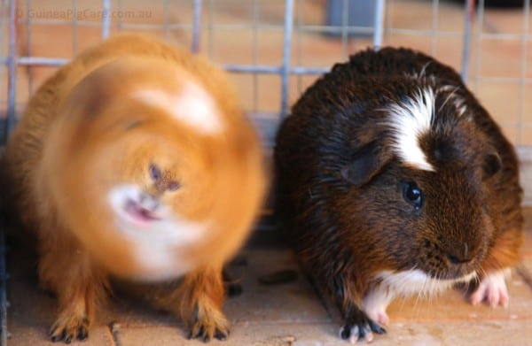 Guinea Pig Allergies... Impossible!