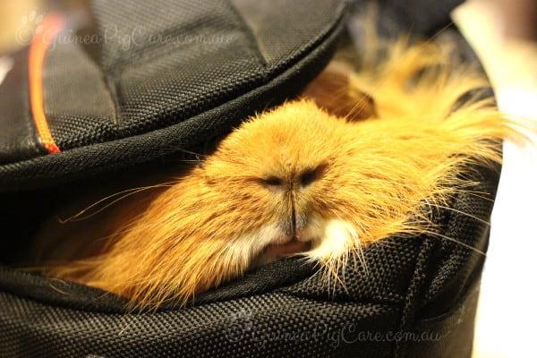 Guinea Pig hiding in Camera Bag