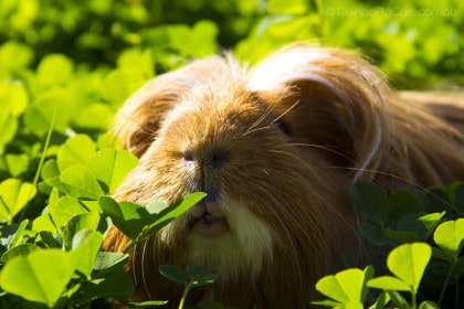 Guinea Pig in Clover