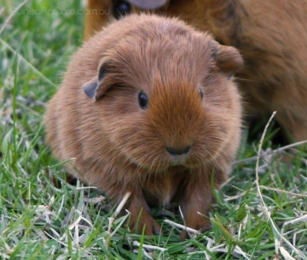 cute fluffy guinea pigs