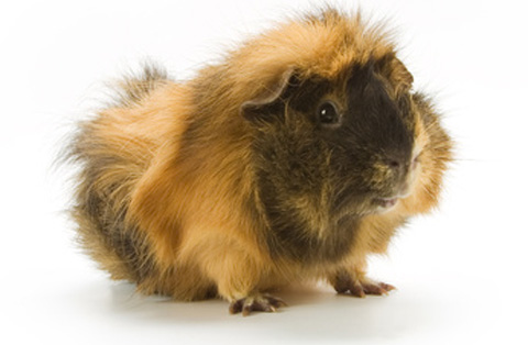 So many guinea pig names to choose from. Fluffy would be an easy choice!
