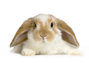 Rabbit facts, tips and care advice