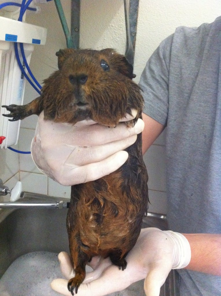 Tips for bathing your guinea pig bath