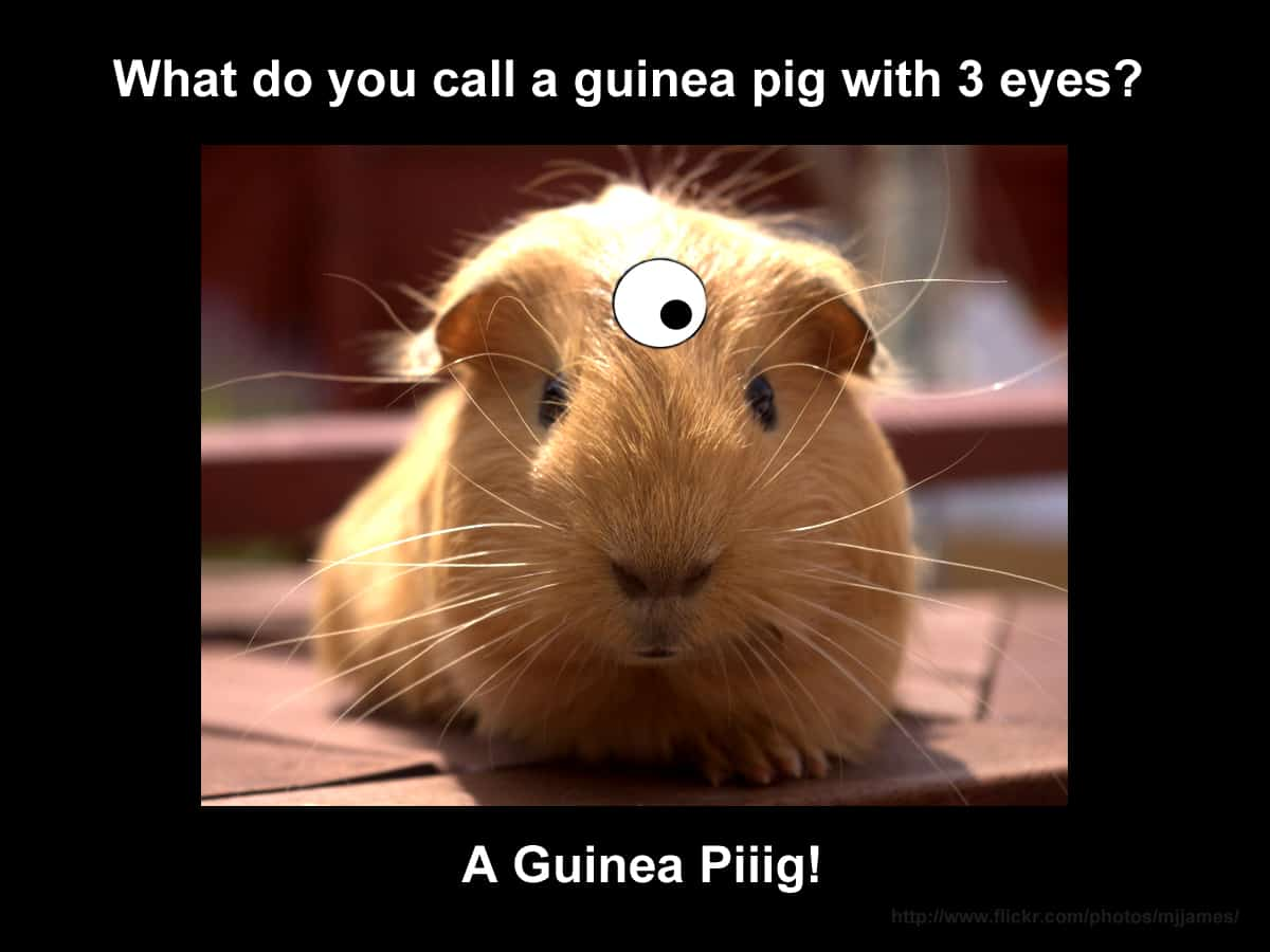 What do you call a Guinea Pig with 3 Eyes?