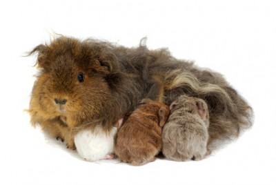 آیا مادر خوکچه هندی از بچه هایش نگهداری و پرستاری می کند؟