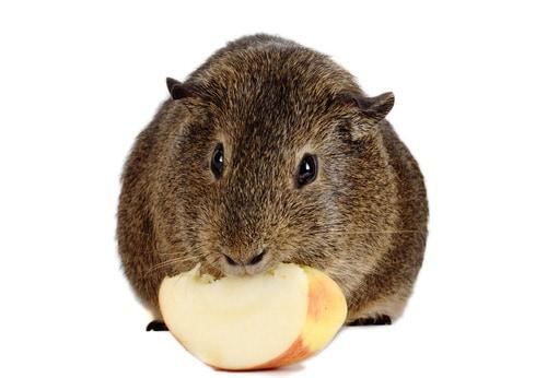 Guinea Pig Eating Apple