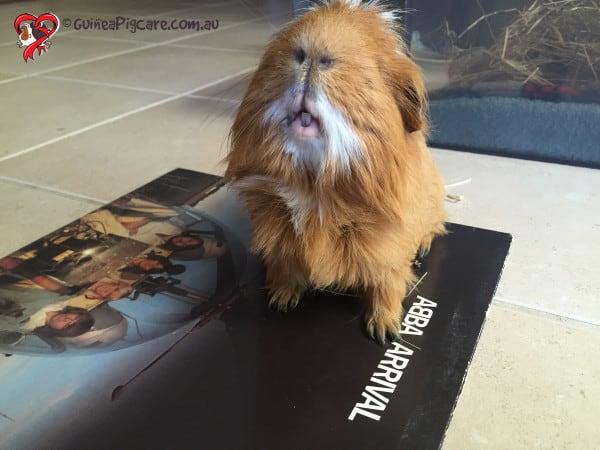 Guinea Pig Letter A