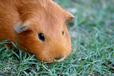 Guinea Pigs Love Mowing the Grass