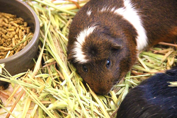Guinea Pig Sleeping Next to Pellets