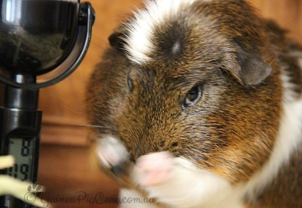 Guinea pig cleaning milky eyes