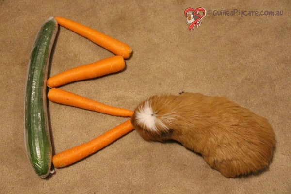 Guinea Pig next to the Letter B made out of cucumber and carrot