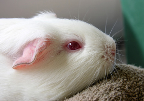 Breeds of guinea pigs guinea pig breeds short hair white lethal guinea pig sciox Gallery