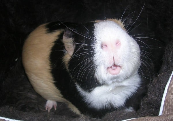 Simon the Guinea Pig