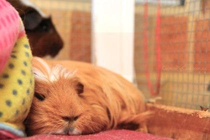 Guinea Pig Snoozing