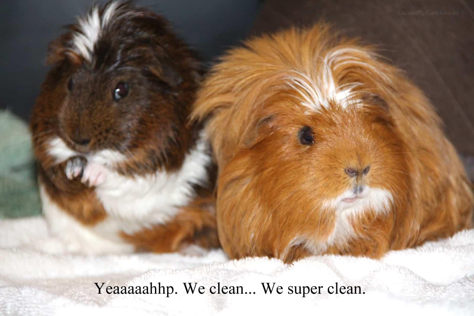 Super clean guinea pigs